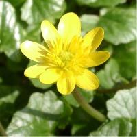 celandine-ranunculusficaria-cropped
