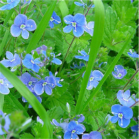 germanderspeedwell637px-veronica-cropped