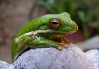 greentreefrog1bytsc20001171355_4-small