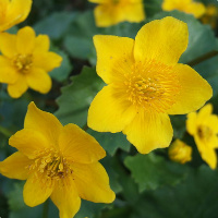 king-cups-800px-caltha_palustris-cropped