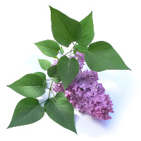 lilac2bymaxray06522671_29784865-cropped