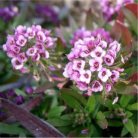 sweetalyssum-800px-lobularia_mar-cropped