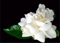 GardeniaonBlackbyxymonau1073898_-crop