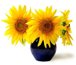 Sunflower2bynkzs1137017_19696199-med