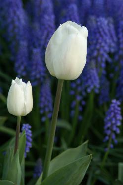 tulipdreambyPMOS522019_32911385-med