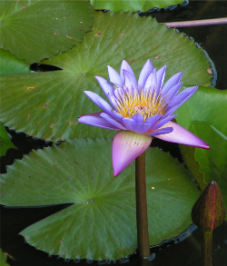 waterlilybygetye11152584_6001767-crop