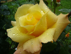 yellowrosebyzack86811152504_1699-med