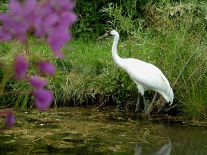 Whooping Crane, Endangered, Conservation