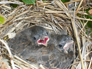 Sparrow Babies- Dawn Marie Hamilton, author of Just Once in a Verra Blue Moon, a Scottish Historical Romance